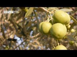 Masline budućnost Hercegovine (VIDEO)