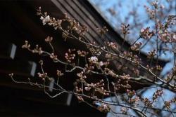 Procvjetale trešnje označile početak proljeća u Japanu