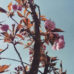 Višegrad: Zasađeno ukrasno drveće na više lokacija