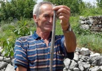 Poskoci kao kućni ljubimci:  Ljubinjac Drago Lečić lovi zmije još od djetinjstva