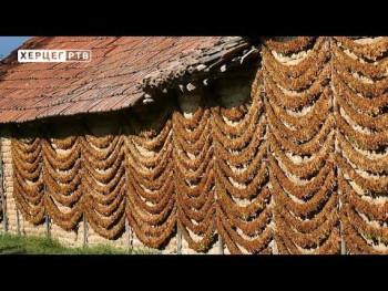 Prepolovljena sadnja duvana u Ljubinju (VIDEO)