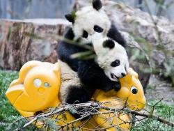 Najslađe mjesto na svijetu – dnevni centar za pande (VIDEO)