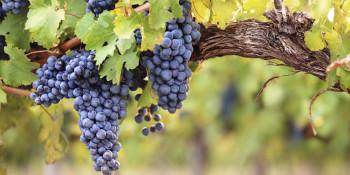 U trebinjskim vinogradima u punom jeku berba grožđa