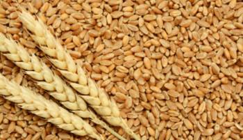 Agrarni fond: Obavještenje proizvođačima merkantilne pšenice