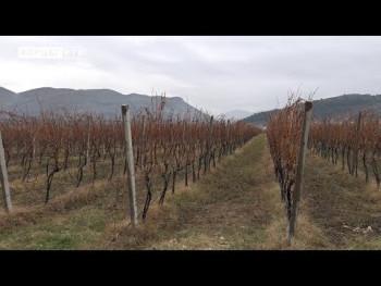 'GIO'sistem uzgoja vinove loze (VIDEO)