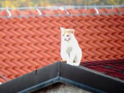 ФОТО ВИЈЕСТ: Мачак на усијаном крову