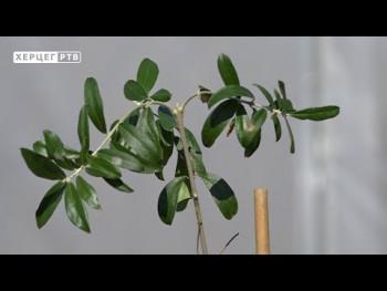Agrarni fond Trebinje: Savjeti za sadnju masline (VIDEO)