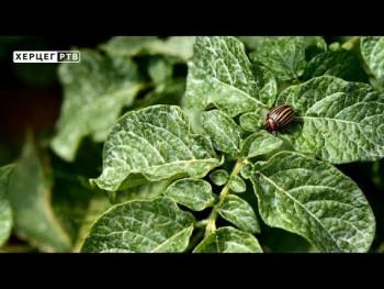 Najčešća oboljenja krompira, paprike i paradajza - kako ih se riješiti? (VIDEO)