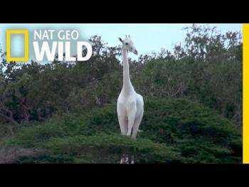 Nevjerovatna rijetkost: Po prvi put u istoriji snimljene bijele žirafe (VIDEO)