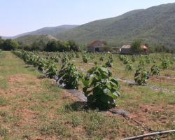 Дрво будућности засађено у Херцеговини