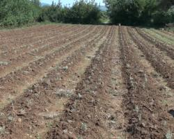 Плантажна производња смиља све чешћа у Херцеговини