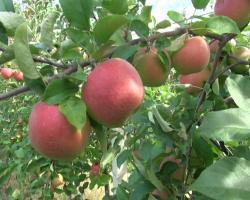 Херцеговачка јабука на европском тржишту
