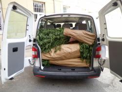 Pronađena veća količina stabljika indijske konoplje