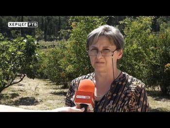 Agrarni fond: Domaći sok od šipka već u ugostiteljskim objektima u Trebinju (VIDEO)
