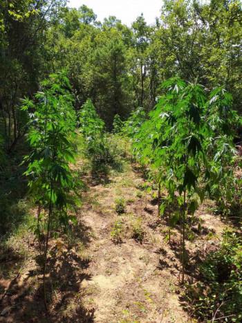 Pronađeno 60 stabljika marihuane - uhapšeni stric i bratić