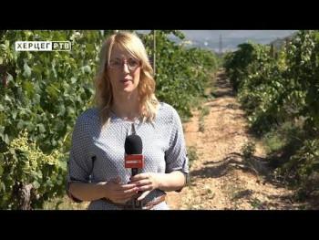 Zbog vremenskih prilika hercegovački vinogradari ove godine očekuju manje prinose (VIDEO)