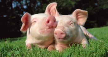 Афричка куга свиња: Како се преноси и како је открити