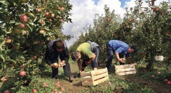 Na njivama i voćnjacima pune ruke posla, a sezonskih radnika sve manje
