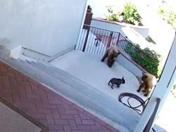 Neustrašivi terijer otjerao dva medvjeda (VIDEO)