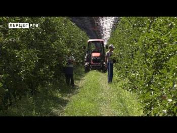 Trebinje: Nedostaje sezonskih radnika u voćnjacima (VIDEO)