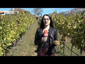 Carski vinogradi i ove godine darovali grožđe odličnog kvaliteta (VIDEO)