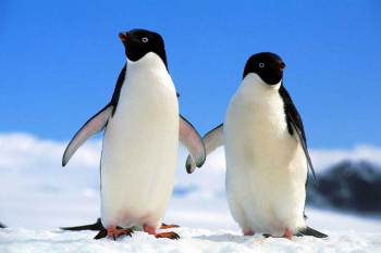 Učite o ljubavi od ptica s Antarktika: Pingvini prose svoje ženke