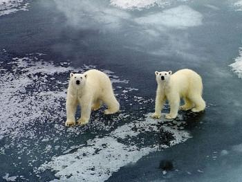 Руски град преплављен гладним поларним медвједима