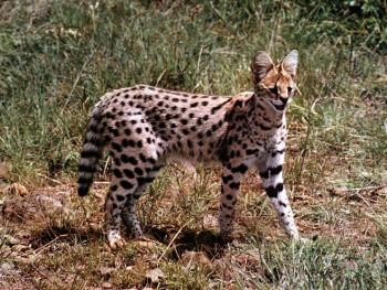 Дивља мачка из Африке лута Хрватском