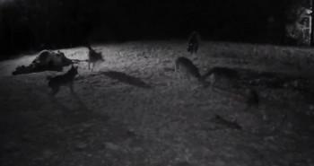 BASNA UŽIVO Kamere snimile nevjerovatnu scenu na našoj planini: Čopor vukova se s veprom otimao o hranu, a onda je naišla LUKAVA LIJA