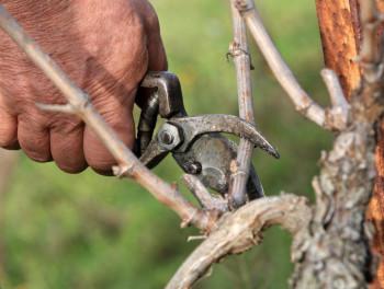 Херцеговина: Повољни временски услови за резидбу винограда