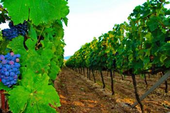 Razvoj vinogradarstva značajan za Srpsku