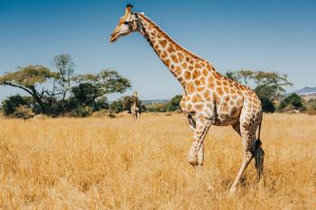 Посљедњих деценија број жирафа се смањио за 40 одсто