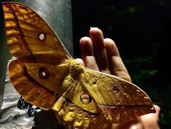 Leptir japanski svilorepac privlači pažnju