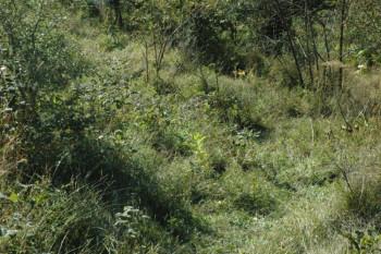 Nevesinje: Pronađeno šest stabljika indijske konoplje
