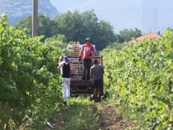 Hercegovačkim vinogradarima izostao očekivani prinos, ali ne i kvalitet