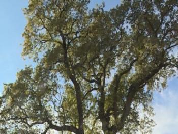 Ljubinje: Legenda o zelenom hrastu živi i danas