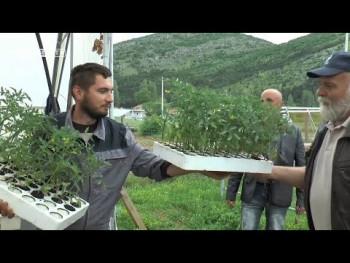 16.000 sadnica paprike i paradajza za trebinjske poljoprivrednike (VIDEO)