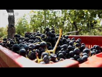 Vukoje: 2021. odličan kvalitet grožđa (VIDEO)