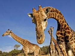 """Stručnjaci: Žirafe se suočavaju sa """"tihim nestankom"""""""