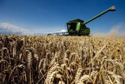 Производња пшенице у БиХ повећана за 43,9%, а кукуруза за 50%