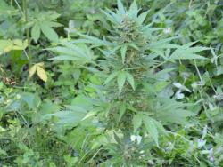 Канада легализује марихуану?