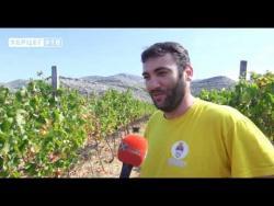 Berba grožđa u vinogradima Petropavlovog manastira (VIDEO)